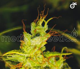 Medical Seeds 2046 Feminized Seeds