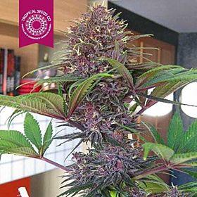 Tropicalseedscompany - Bisho Purple - Feminised - Plant