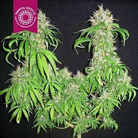 Tropicalseedscompany - Cognition - Regular - Plant