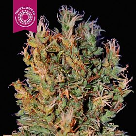 Tropicalseedscompany - Durban Punch - Regular - Plant