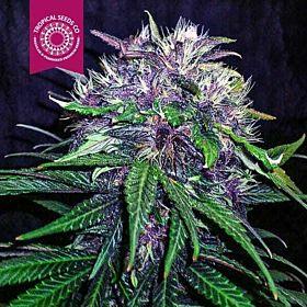 Tropicalseedscompany - Red Afro - Feminised - Plant
