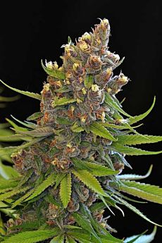 TGA SubCool Genetics Ace of Spades Regular Seeds