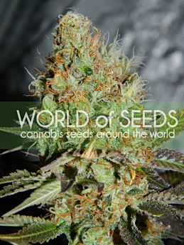 World of Seeds Afghan Kush Special Feminised Seeds