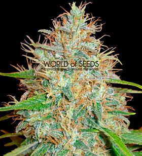 world of seeds Afghan Kush x Skunk