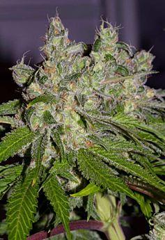 Alpine Seeds Sweet Tooth3 BX1