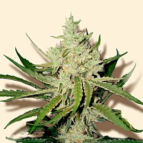 Automatic Amnesia Feminised Seeds