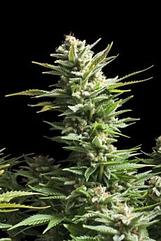Royal Queen Seeds Amnesia Haze Feminised Seeds