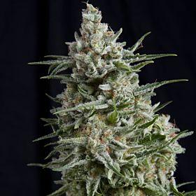 Pyramid Seeds Anesthesia CBD Fem