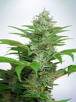 ministry of cannabis auto cbd star