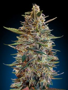 Advanced Seed Banks Automatic Feminized Collection #2