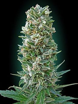 Advanced Seed Banks Automatic Feminized Collection #3