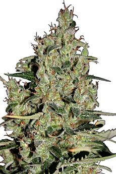 seedmakers auto critical