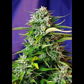 Sweet Seeds Auto Jack 47 Fem