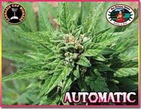 Big Buddha AUTOMATIC Feminised Seeds