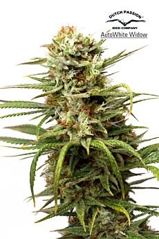 auto-white-widow-autoflowering-seeds