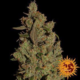 Barney's Farm Seedbank CBD Critical Cure