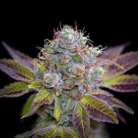 BC Bud Depot Girl Scout Cookies Feminized Plant