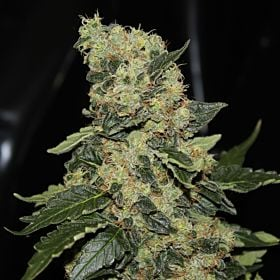 green label berry delight