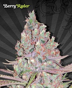Auto Seeds Berry Ryder Automatic Feminized Seeds