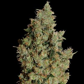 barney's tangerine dream