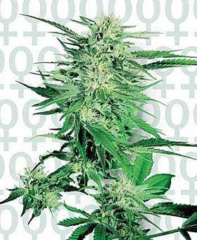 Sensi Seeds Big Bud Feminised Seeds