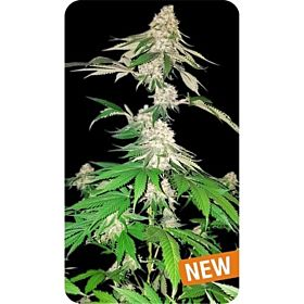 Dispensario Seeds Big Crack Tsunami Fem