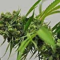 reeferman big sur holy weed