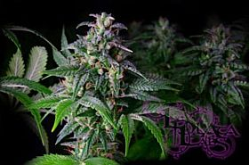 LaPlata Labs Seeds Big White Regular Seeds