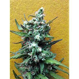 Breaking Buds Seeds Big Whoop Auto Fem