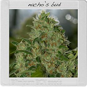 blimburn Nacho's Bud
