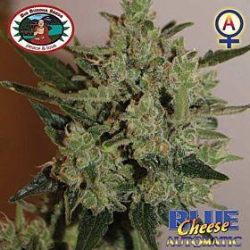 Big Buddha Blue Cheese Feminised Seeds