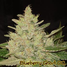 original sensible blueberry ghost og