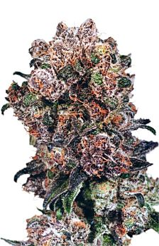 dutch passion blueberry
