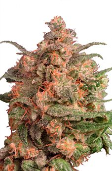 Dutch Passion Brainstorm Feminised Seeds