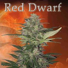 Buddha Seeds Red Dwarf Auto Feminised