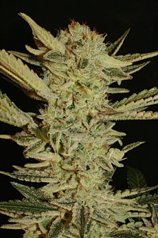 Serious Seeds Bubble Gum Regular