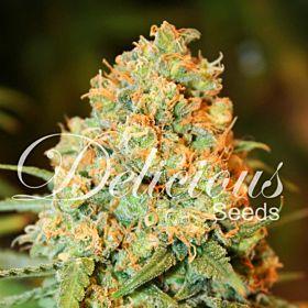 Delicious Seeds - Critical Super Silver Haze