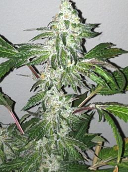 Cali Connection Girl Scout Cookies Feminized