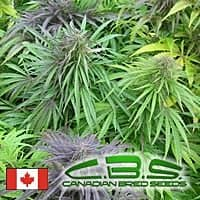 canadian bred seeds madame poison