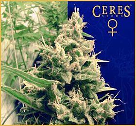 Ceres Seeds Hollands Hope Feminised Seeds