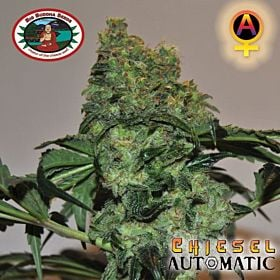 Big Buddha Chiesel AUTO Feminised Seeds