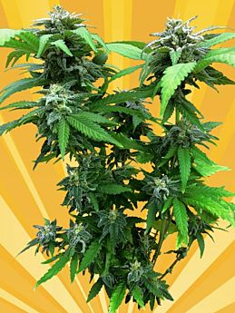 freedom of seeds chunky skunk