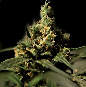 Bulldog Seeds - Citral Skunk Feminized