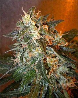 Flash Seedbank - Cobra Autoflowering Feminized Seeds