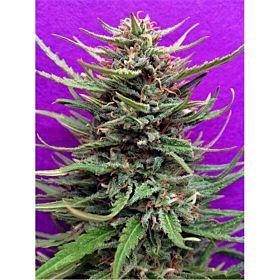 Breaking Buds Seeds Cream Crystal Meth Fem