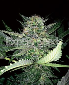 Expert Seeds Critical Lights Fem