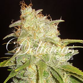 Delicious Seeds - Critical Yumbolt