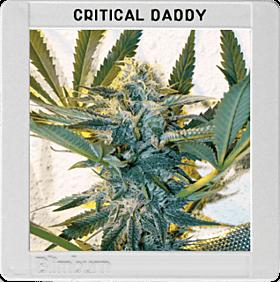 blimburn critical daddy