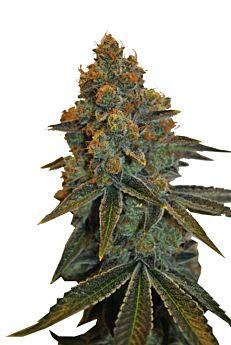 cbd botanic CBD D Diesel Feminized Seeds