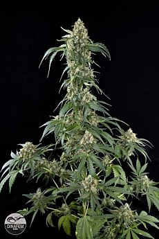 Dinafem White Widow Feminised Seeds
